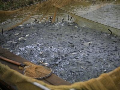 Від початку року до водойм Запорізької області випустили понад 28 тонн риби