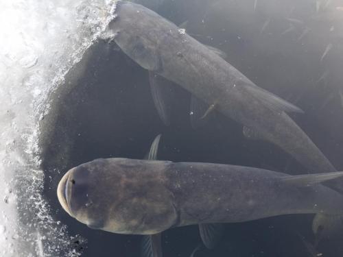 Зимівля риби та заходи, спрямовані на покращення умов в даний період